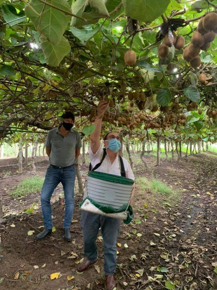 El intendente de Saladillo visitó la plantación de kiwis y colaboró en la cosecha. Foto: gentileza Kiwis Saladillo.
