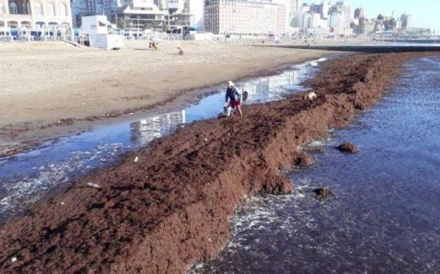 Una invasión de algas cubrió las playas del centro de Mar del Plata
