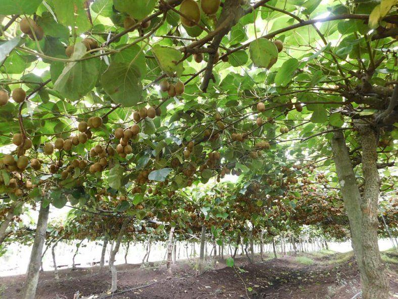 Las plantaciones de kiwi arman estructuras similares a las de un viñedo. Foto: gentileza Kiwis Saladillo.