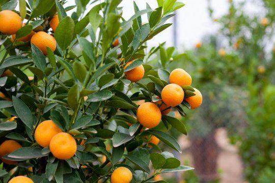 eximen del pago de impuestos a productores de citricos