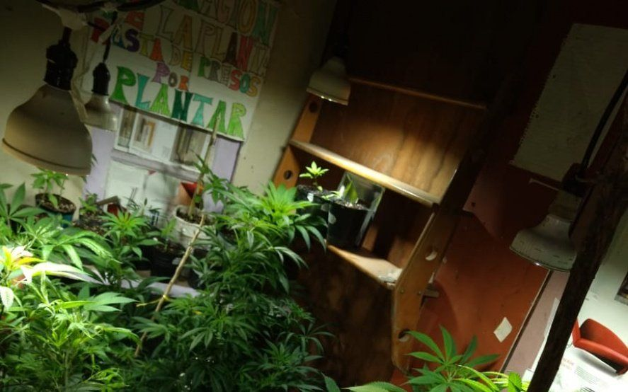 Detuvieron a una cultivadora de marihuana para uso medicinal y hay polémica