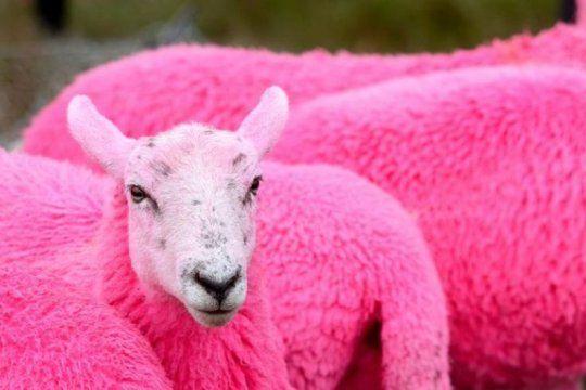 maltrato animal: tineron de fucsia a un grupo de ovejas para promocionar un festival