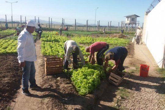 capacitacion laboral en huertas: presos de saavedra siembran y cosechan verduras para autoconsumo