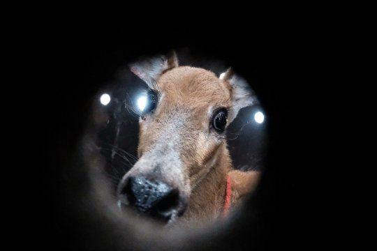 Se cree que el ciervo fue víctima de cazadores furtivos