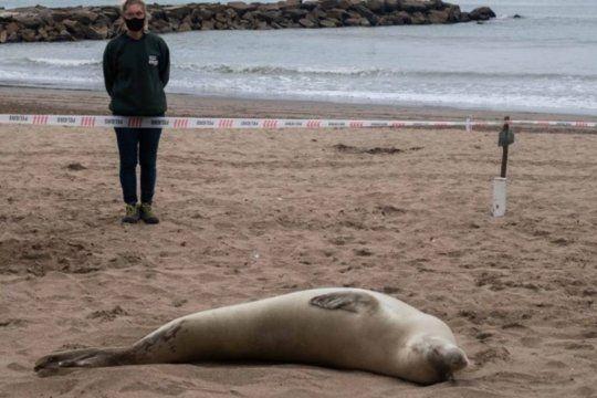 una foca de la antartida en la playa de mar del plata