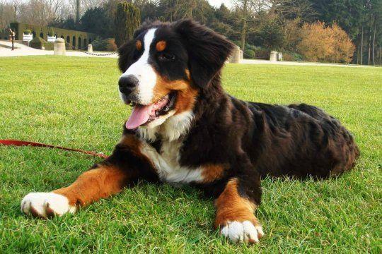 Un perro de la raza Boyero Montañes Bernes fue robado en medio de una mudanza