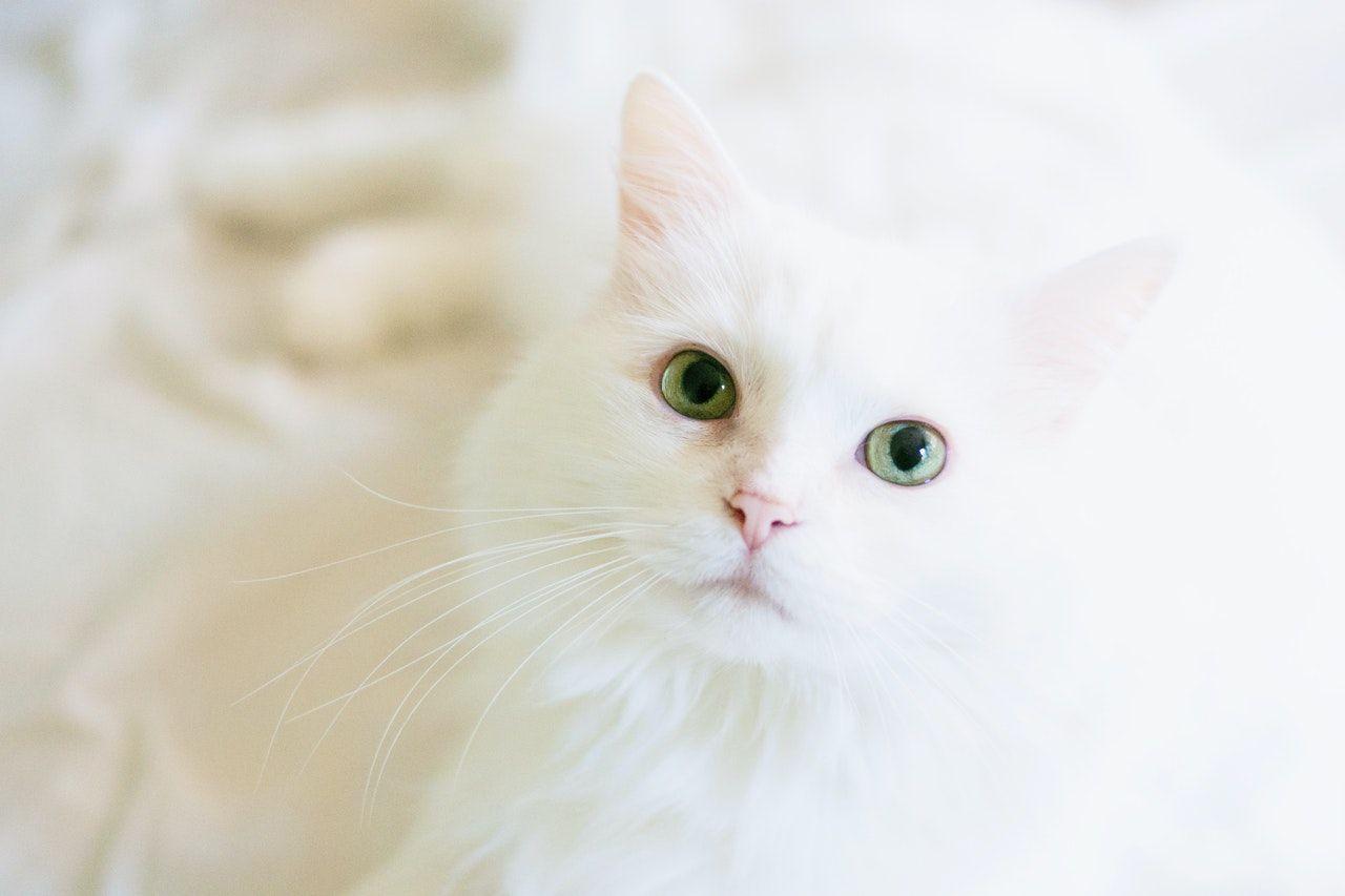 Los gatos blancos son propensos a contraer dermatitis e incluso cáncer