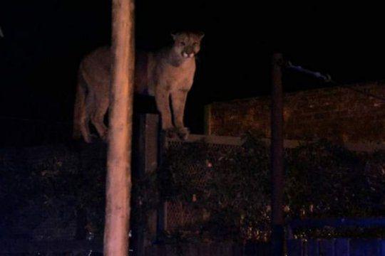un puma suelto en bahia blanca: atraparon al animal que causo terror entre los vecinos