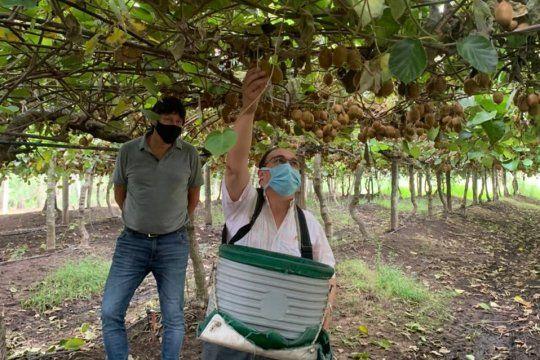 El intendente de Saladillo visitó la plantación de kiwis y colaboró en la cosecha. Foto: gentileza Kiwi Saladillo.