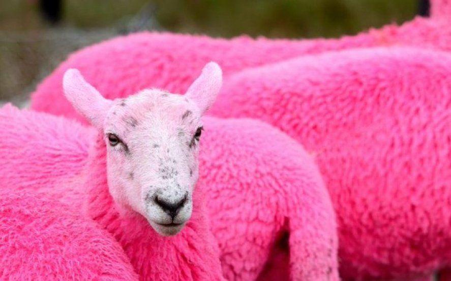 Maltrato animal: tiñeron de fucsia a un grupo de ovejas para promocionar un festival