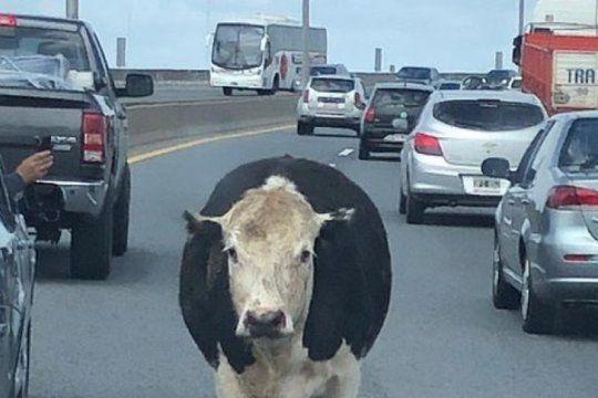 ¿que paso con las vacas que escaparon del camion en la autopista buenos aires?la plata?