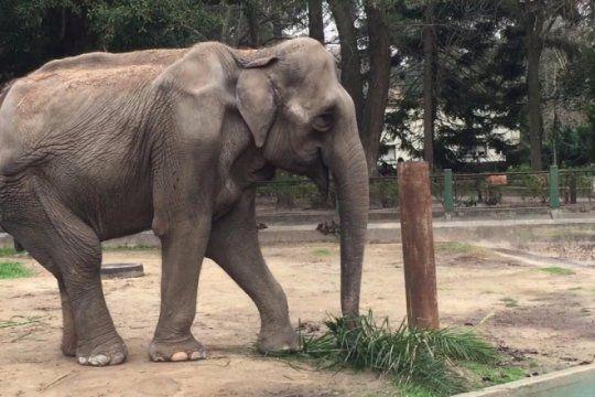 cerca de la libertad: la elefanta pelusa se entrena para viajar al santuario de brasil antes del otono