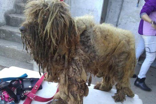 rescatan a 13 caniches que vivian en condiciones deplorables en un criadero clandestino