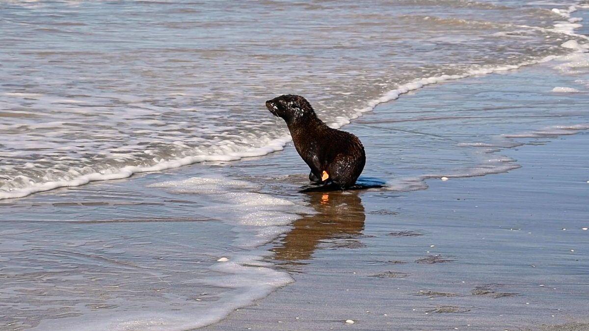 El lobo marino fue liberado en las playas de San Clemente del Tuyú