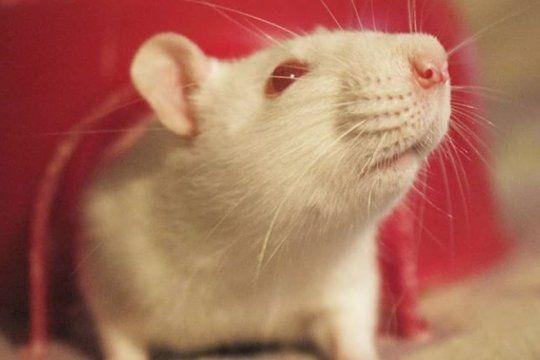 rescatan ratas de laboratorio y les buscan familia: ?son inteligentes, curiosas y sociables?