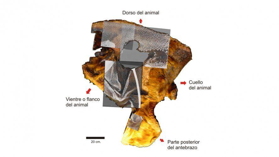 La piel del perezoso está exhibida en el Museo de Ciencias Naturales de La Plata