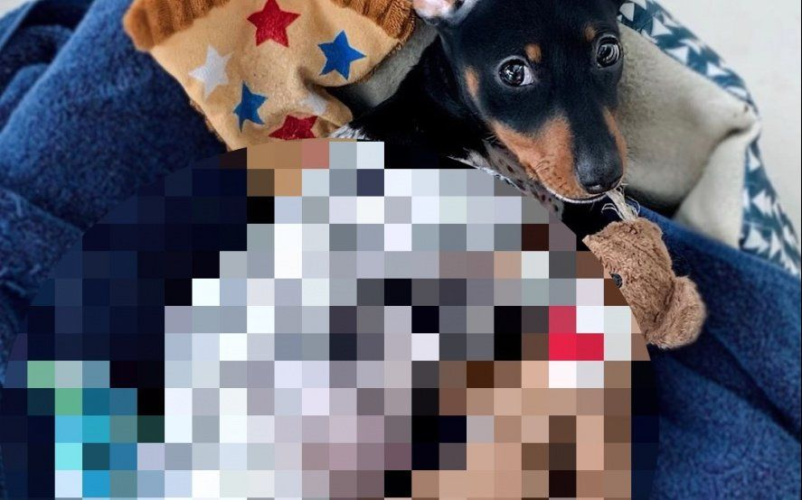 """Furor por """"Moo"""": el mini perro que enternece por su extraño color"""